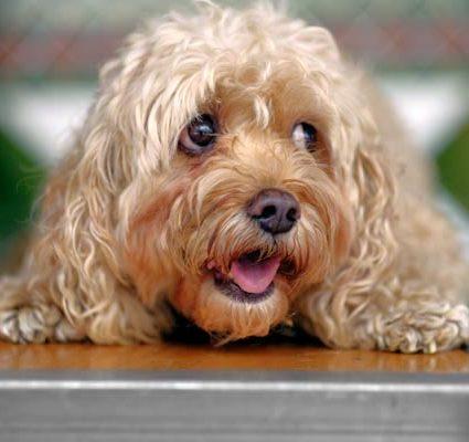sad dog on groomer table